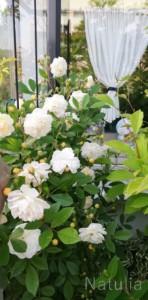 6月は大好きな季節。初めての薔薇