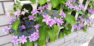 紫陽花が好き!